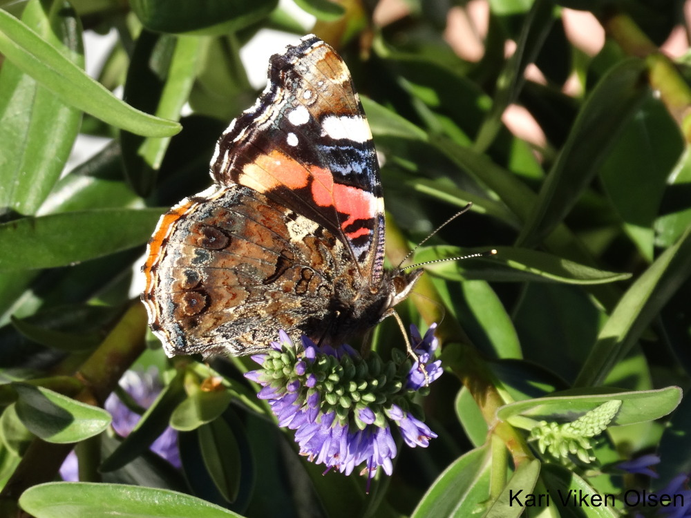 sommerfugl på blomst 2