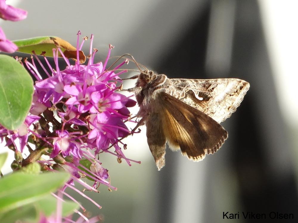 sommerfugl på blomst 4