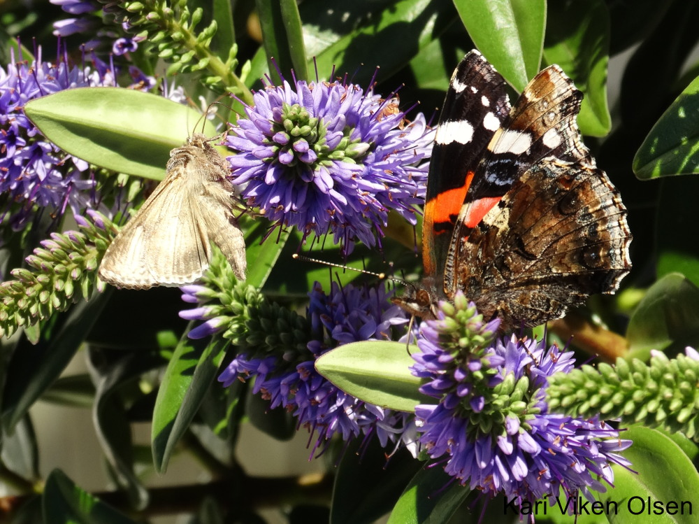 sommerfugler 2