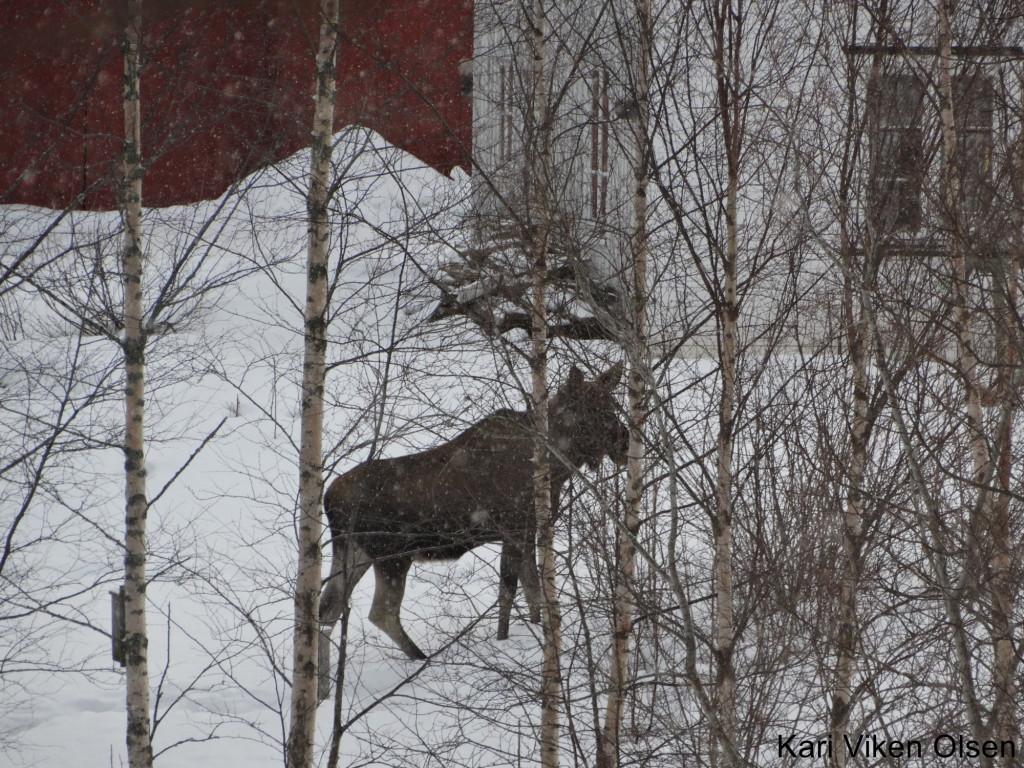 elg hos naboen 1