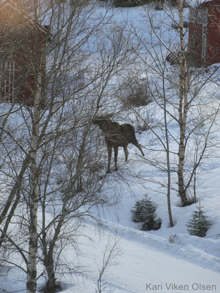 elg hos naboen 2