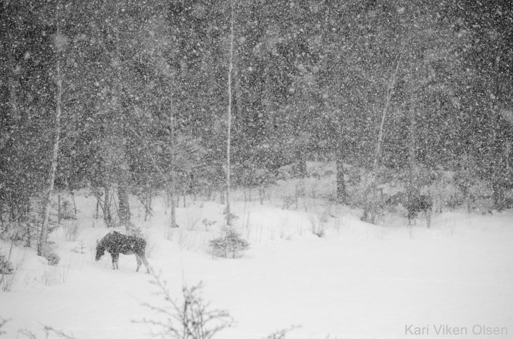elg i snøvær