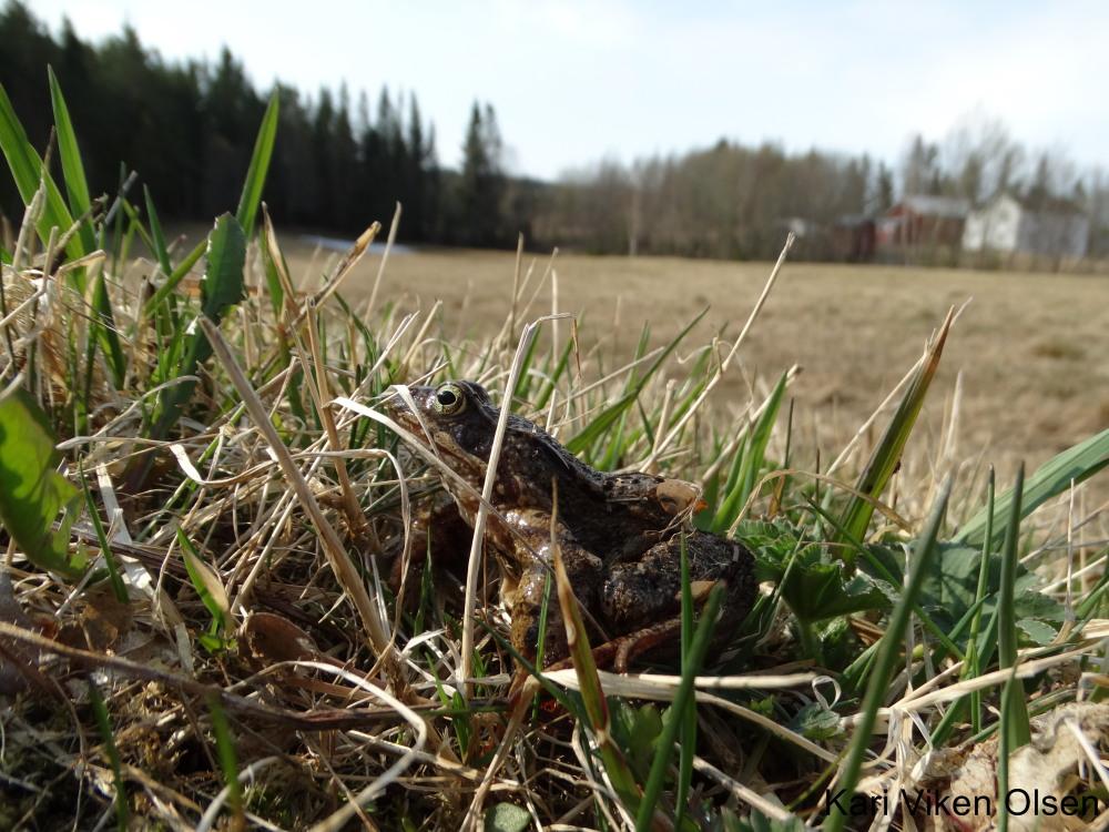 årets første frosk