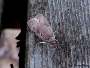 vårtegn liten sommerfugl