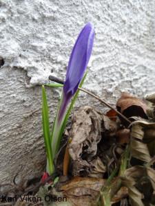 Vårtegn første krokus